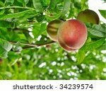 organic babcock peach on the... | Shutterstock . vector #34239574