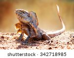 Closeup of alert frilled neck lizard (Chlamydosaurus kingii) on land