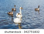 Swan  Cygnus Olor  Family With...