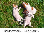 Stock photo funny smiling puppies playing outdoors on a green summer meadow happy pets enjoying their life 342785012