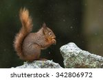 Red Squirrel In Winter.