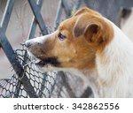 happy active young jack russel... | Shutterstock . vector #342862556