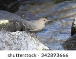 Small photo of American Dipper (Cinclus mexicanus) in Yellowstone National Park