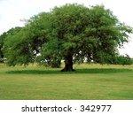 Texas Shade Tree