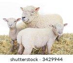 sheep family group