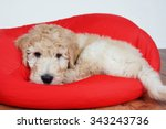 Goldendoodle Puppy Resting On...