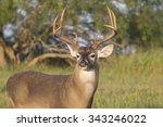 Texas White Tail Deer Buck