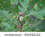 Small photo of Acorn nut of the oak