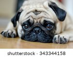 Stock photo pug dog sad puppies sleep rest on floor 343344158