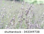 dreamy lavender | Shutterstock . vector #343349738
