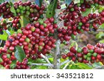 coffee tree with coffee bean on ... | Shutterstock . vector #343521812