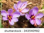 close up of crocus sativus...   Shutterstock . vector #343540982