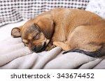cute puppy sleeping on sofa at... | Shutterstock . vector #343674452