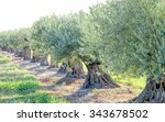 A Row Of Olive Trees
