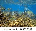 White Seabream Underwater...