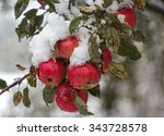 Red Apples Under The Snow In...