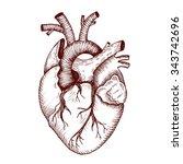 anatomical heart   vector...   Shutterstock .eps vector #343742696