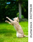 Stock photo funny red cat jumping on green grass 343758638