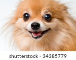 Portrait Of A Spitz Dog In...