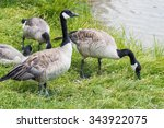 Wild Geese Eating Grass Close...