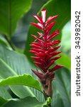 Small photo of Alpinia Purpurata (Red ginger flower), Fiji