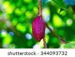 Ripe Cocoa Pod Hanging On Tree...