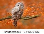 ural owl  strix uralensis ... | Shutterstock . vector #344339432