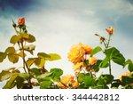 Stock photo roses in the garden 344442812