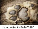 paw of lion showing pads | Shutterstock . vector #344465906