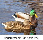 Breeding Pair Of Mallard Ducks...