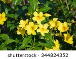 Yellow Allamanda Flower In...