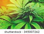 Marijuana Plant Budding...