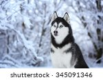 Beautiful Siberian Husky Dog I...