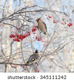 Two Waxwings Sitting On  Branc...