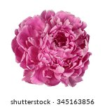 pink peony isolated on a white... | Shutterstock . vector #345163856