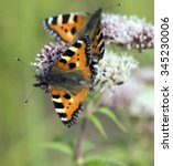 Small photo of Aglais urticae; butterfly