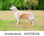 happy golden retriever dog... | Shutterstock . vector #345258326
