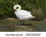 A royal swan - stock photo