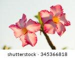 adenium or desert rose flower | Shutterstock . vector #345366818