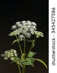 Small photo of Aegopodium, podagraria; weeds, blossom