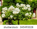 Stock photo bush of beautiful roses in a garden horizontal shot with a selective focus 345493328