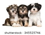 Stock photo three cute bichon havanese puppies are sitting next to each other isolated on white background 345525746