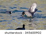 Two American Coots Battling In...