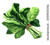 bunch of fresh spinach leaves... | Shutterstock . vector #345905546