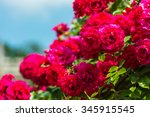Stock photo bush of beautiful roses in a garden horizontal shot with a selective focus 345915545