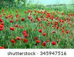Field Full Of Blooming Red...