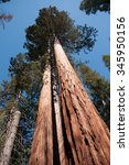hiking near sequoia trees in... | Shutterstock . vector #345950156