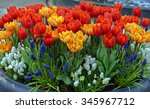 Tulips And Grape Hyacinth ...