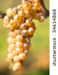 Ripe grape in the vineyard in October - stock photo