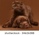 Brown puppy and brown kitten. - stock photo